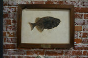 55 Million Year Old Fish Fossil Phareodus Testis From Green River Formation
