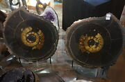 Fantastic Rare 9 Pound Pair Of Ammonites W/stands From Germany