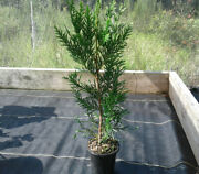 2 - Fast Growing Thuja Green Giants Trees In 4 Inch Pots 10 Inches Tall Or More