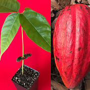 Red Theobroma Cacao Cocoa Chocolate Tropical Fruit Tree Potted Plant 10-13