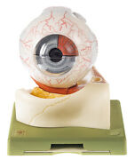 Eye Model Somso Cs1 7-part W Stand Professional Quality Special Offer