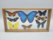 Butterfly Taxidermy Collection Framed Display Case Real Blue Morpho Monarch