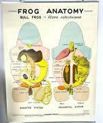 Large Vintage 1963 Scientific Classroom Poster Bull Frog Anatomy 36 X 48