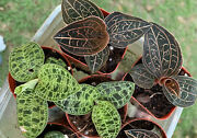 2 Jewel Orchid Collection Not For Ca