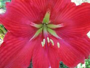 15 Amaryllis Seed Red Star Dried Refrigerated.- Ready To Go Hippeastrum