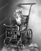 Cat Sitting In Victorian Brass Carriage 8 - 10 Bandw Photo Reprint