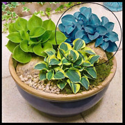Blue Baby Mouse Ears Hosta Mini Live Plant Flower Small Landscaping Plants
