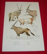 Rowland Ward Clare Abbott Signed Print Game Animals Of Africa 1 - Oryx