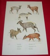 Rowland Ward Clare Abbott Signed Print Game Animals Of Africa 2 - Duiker
