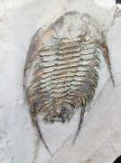 82 Cm/32and039and039 Neltneria Termieri Fossil Trilobite. Lower Cambrian.issafen.morocco