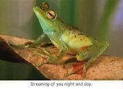 Canal Zone Treefrog, Dreaming Of You, Funny Frog Greeting Card --- Not Postcard