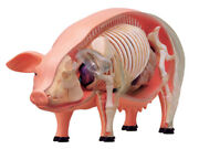 Puzzle Toys Pig Anatomy Science And Education Assembled Model Teaching Model