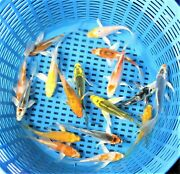 Premium Quality 2.5 - 3 Assorted Butterfly Fin Japanese Koi Live Pond Fish