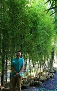 Bamboo Plant Instant Privacy 50 Bamboo Plants 15and039 Tall -fence 1/2off Wholesale