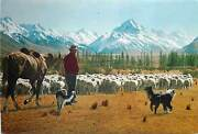 New Zealand Postcard Canterbury Mt Cook Mustering Sheep Flock Butterfly Stamp