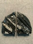 Orthoceras Fossil Bookends 6 X 4 Scalloped Nice