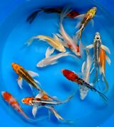 Assorted Premium Quality 4 - 5 Japanese Koi Butterfly Fin Live Pond Fish