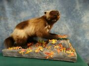 Awesome Alaskan Wolverine Taxidermy Quality Mount Home Hunting Lodge Cabin Decor