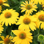 2 Echinacea Sombreroandreg Lemon Yellow Perennials. Stunning Color