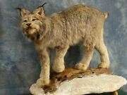 Beautiful Canadian Lynx Quality Taxidermy Mount Bobcat Home Hunting Cabin Decor
