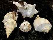 Huge Lot Collectible Mixed Variety Very Cool Sea/conk Shells Rocks Minerals Mop