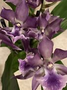 Orchid In Spike Zygopetalum Specimen. Noid 3 Spikes Lots If Blooms Big Plant
