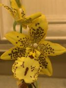 Oncidium Orchid In Spike Noid Beautiful And Rare Extremely Fragrant