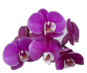 Phalaenopsis Orchid Purple Flower White Lips In Spike Big Plant Many Buds