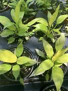 Spathiphyllum And039mojo Lime Peace Lilylive Plant 4 Pot Not For Ca