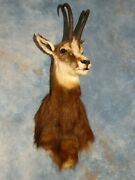 Record Class Alpine Chamois Goat Taxidermy Mount Horns Home Hunting Lodge Decor
