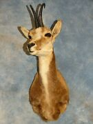 Quality Spanish Pyrenean Chamois Taxidermy Mount Horns Goat Home Hunting Decor