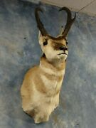 Majestic Pronghorn Antelope Prairie Goat Mount Horns Taxidermy Home Decor