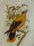 C1880 Lithograph Of The Sharp-billed Oriole - Oriolus Acrochyncus - Plate 7