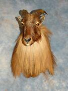 Gorgeous Himalayan Tahr Taxidermy Mount Goat Sheep Horns Home Hunting Decor
