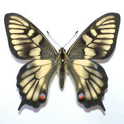 Unique Papilio Machaon Extreme Aberration Male From Sweden Mounted