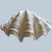 Large Natural Gigas Tridacna Clam Shell