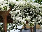 Well Rooted Key West White Live Bougainvillea Starter/plug Plantusa Seller