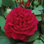 50p Seed Rose Bordeaux Garden Shrub Netting Decoration Arch Wall Fence Perennial