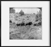 1906 Photo Acres Of Sheep - On A Great Range In Southern Colorado