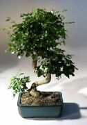 Chinese Indoor Flowering Ligustrum Bonsai Tree Curved Trunk