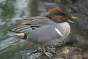 Green Winged Teal Taxidermy / Decoy Carving Reference Photo Cd