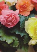 8 Mixed Double Begonia Corms