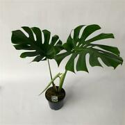 Monstera Deliciosa Swiss Cheese Plant With Xl Leaves In 19cm Pot. 70cm Tall