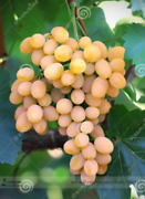 100pcs Seeds Rare Yellow Red Grape Fruit Juicy Tasty Delicious Magnificent