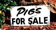 Vintage Rustic Metal Pigs For Sale Barn Stable Hand Painted Farm Cafe Decor Sign