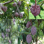 Rose Sugar Apple Seeds Annona Squamosa Sweet Annona From Thailand 30 Seeds/ Pack