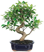 Brusseland039s Bonsai Live Golden Gate Ficus Indoor Bonsai Tree-7 Years Old 8 To 10