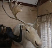 Large Taxidermy Caribou Reindeer Wall Mount