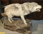 Vintage Coyote Hybrid Howling Taxidermy Full Body Mount Dingo Wolf Wild Dog Game
