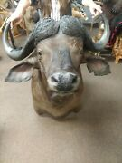 Gorgeous Cape Buffalo Shoulder Mount Taxidermy New Holland Pa